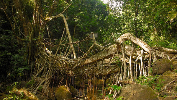 living architecture 001 Amazing Living Architecture   Root Bridges of Cherrapunji