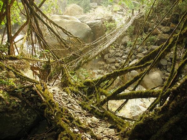 living architecture 008 Amazing Living Architecture   Root Bridges of Cherrapunji
