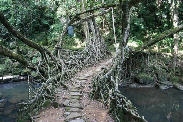 living architecture 011 Amazing Living Architecture   Root Bridges of Cherrapunji