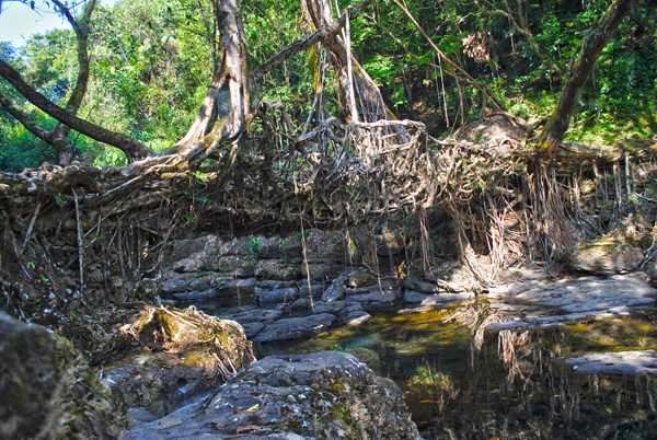 living architecture 013 Amazing Living Architecture   Root Bridges of Cherrapunji