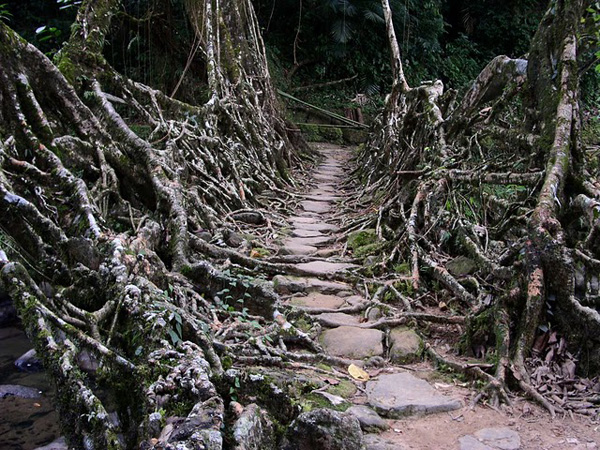 living architecture 016 Amazing Living Architecture   Root Bridges of Cherrapunji
